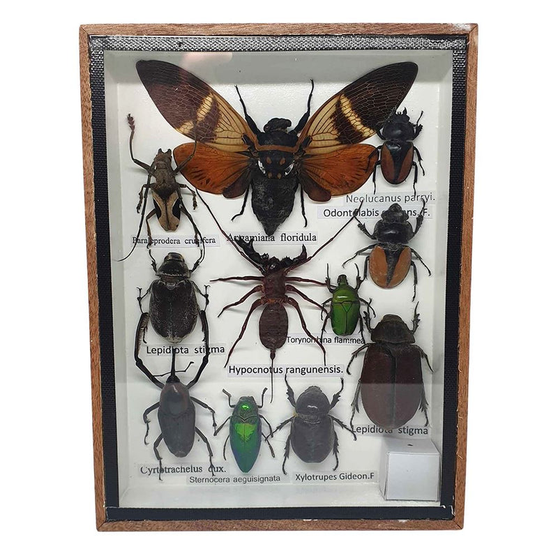 Vie Naturals Taxidermy Boxed Insect Set, Small, Assorted, 15x19.5cm