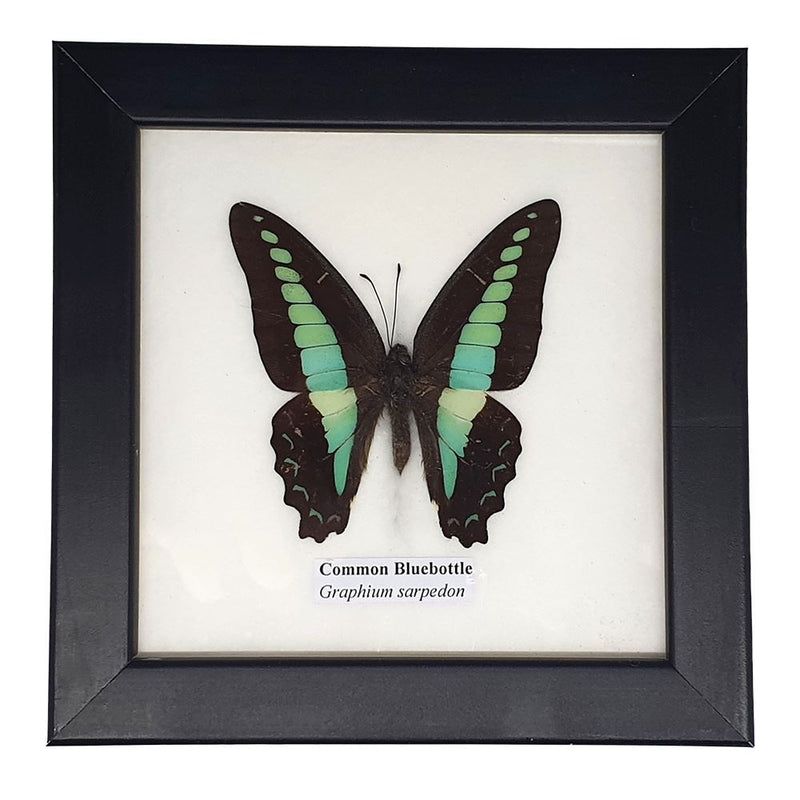 Vie Naturals Real Taxidermy Butterfly Mounted Under Glass, 12.5x12.5cm, Assorted, Single Butterfly