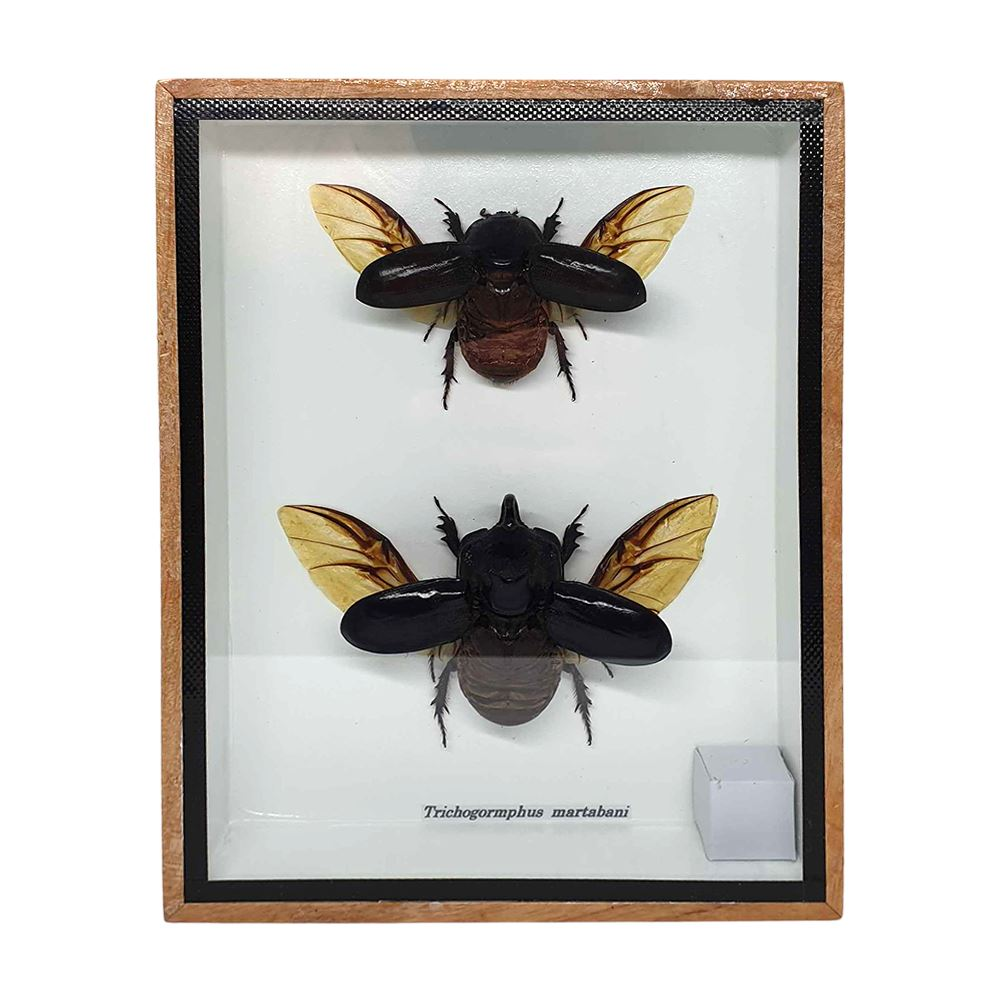 Vie Naturals Taxidermy Dung Beetle Pair, 15x20cm, Collectables by Global 1st