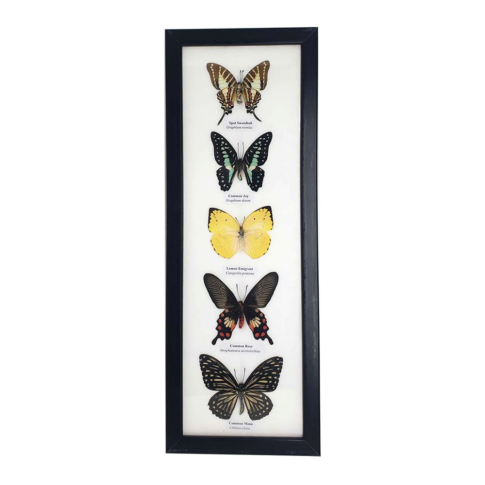 Framed Butterflies - 5, Collectables by Global 1st