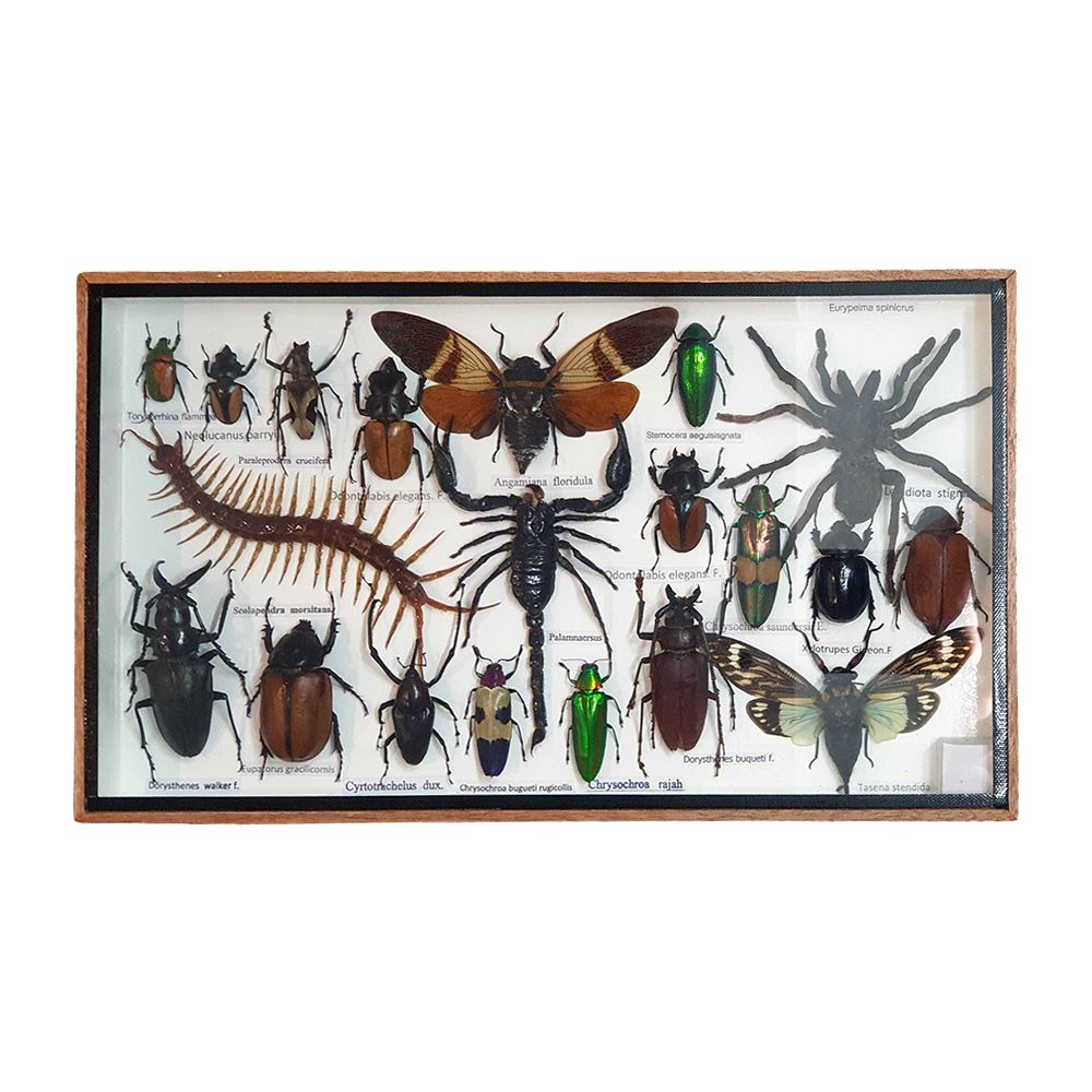 Vie Naturals Taxidermy Boxed Insect Set, Medium, Assorted, 35.5x21cm, Arts & Entertainment by Global 1st