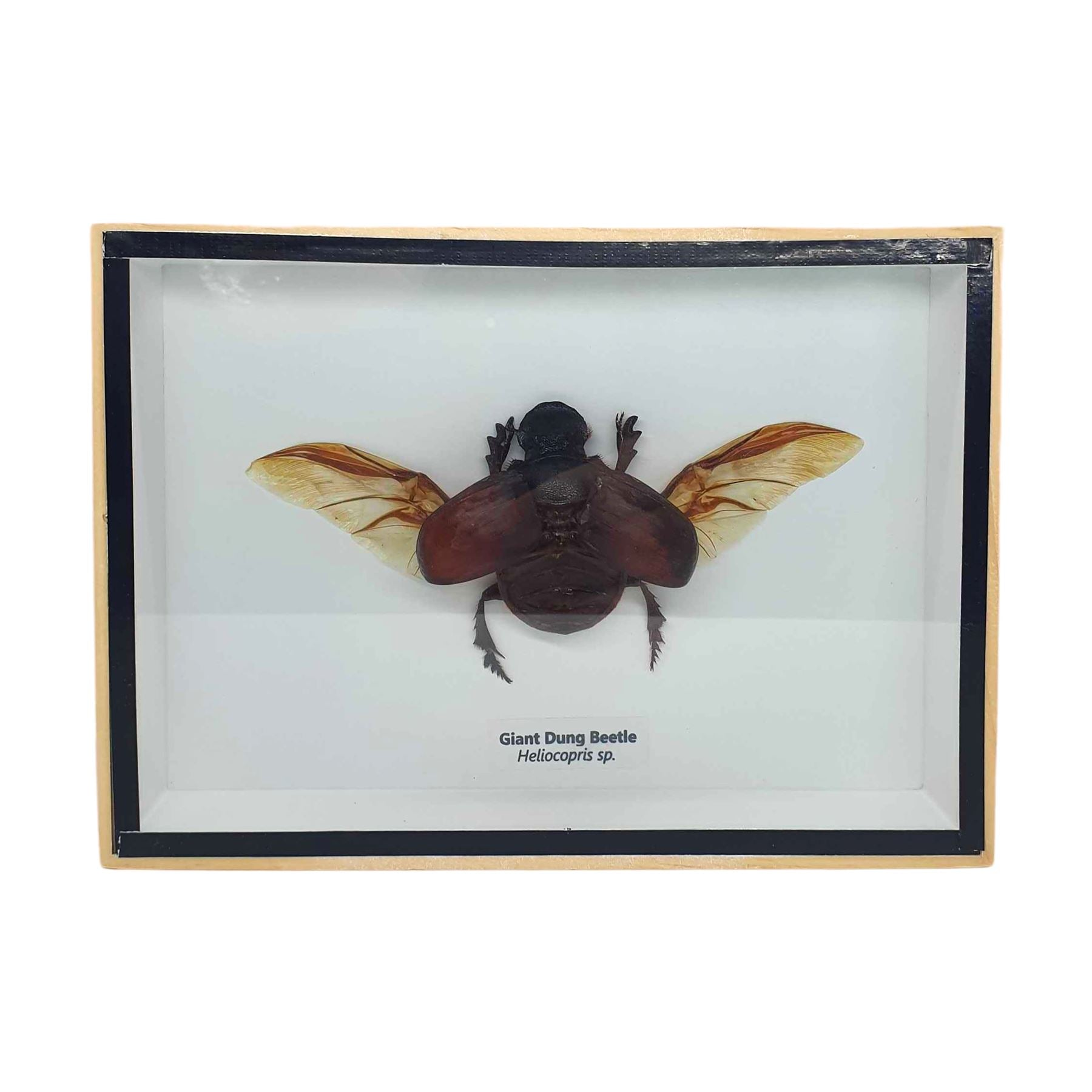 Vie Naturals Taxidermy Dung Beetle, 18x13cm, Collectables by Global 1st