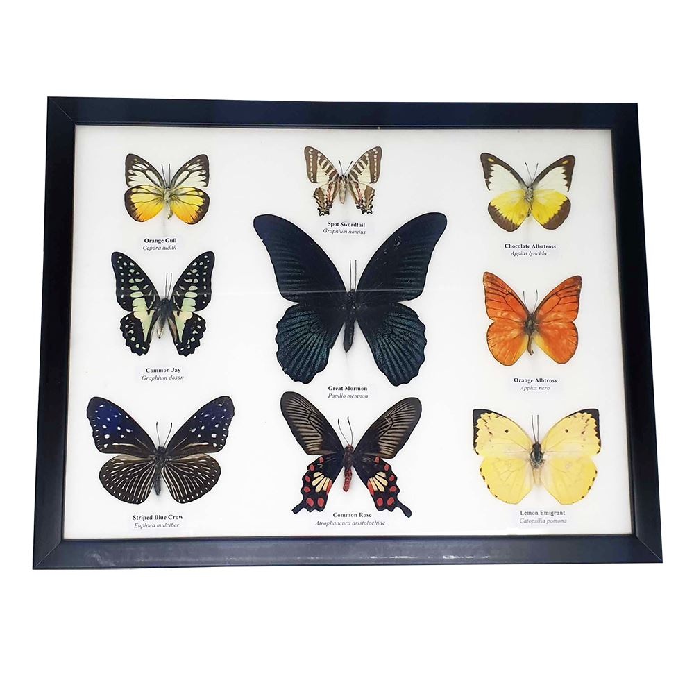Framed Butterflies - 9, Collectables by Global 1st