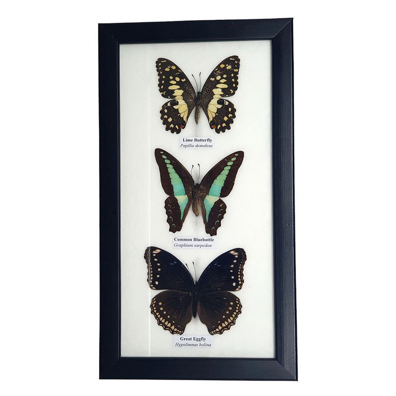 Vie Naturals Real Taxidermy Butterfly Mounted Under Glass, 25x14cm, Assorted, 3 Butterflies