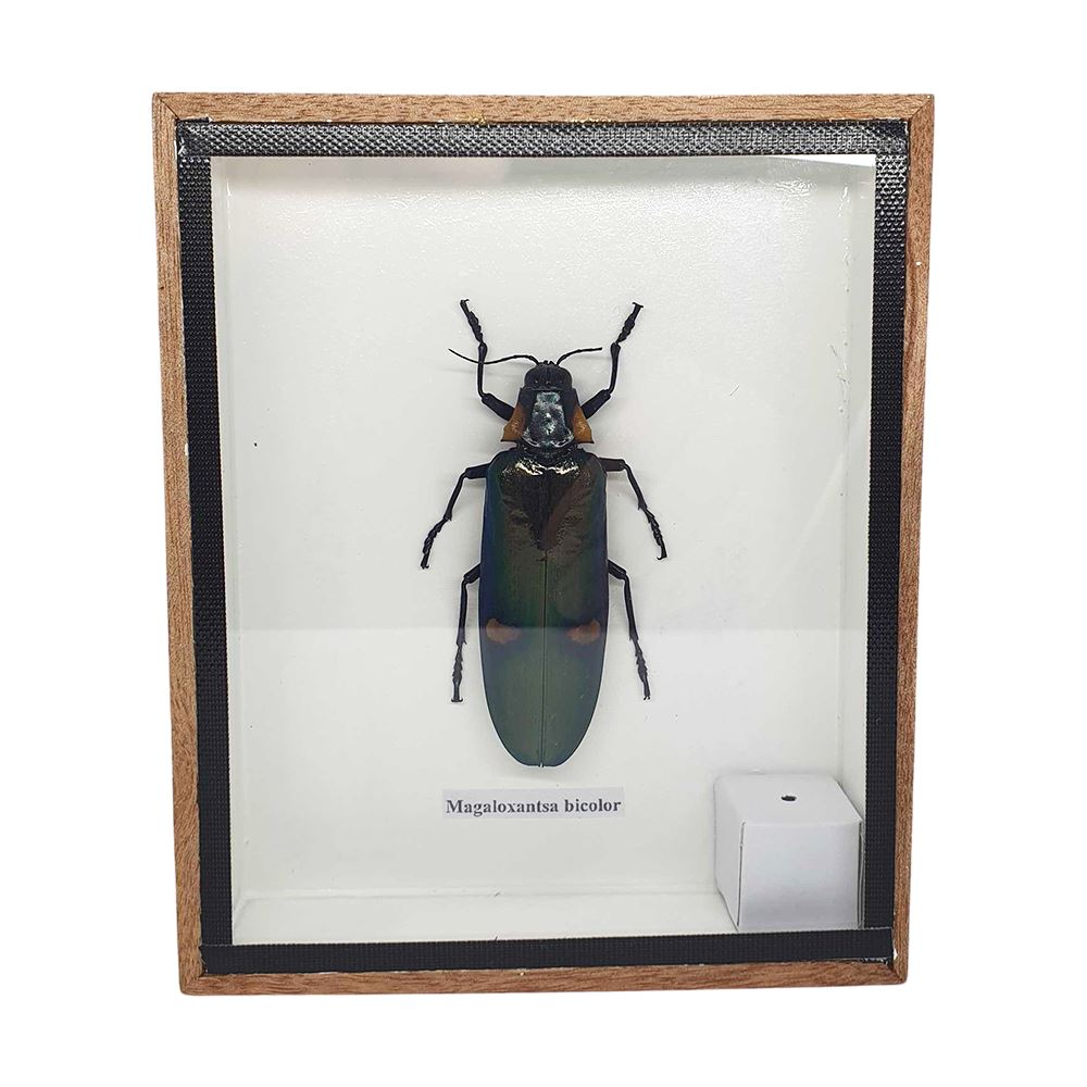Vie Naturals Taxidermy Giant Green Jewel Beetle, 12.5x15cm, Collectables by Global 1st