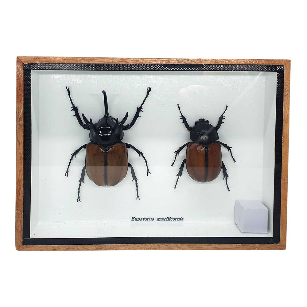 Vie Naturals Taxidermy 5 Horned Beetle, Pair, 15x12.5cm