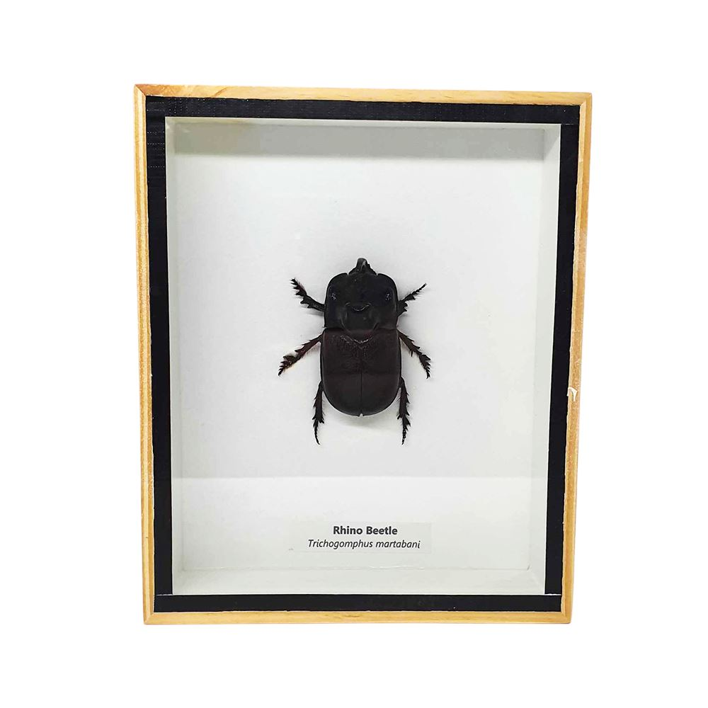 Vie Naturals Taxidermy Rhino Beetle, 13x15.5cm, Collectables by Global 1st