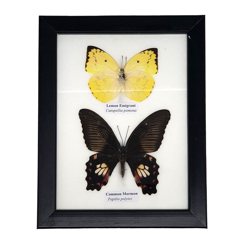 Vie Naturals Real Taxidermy Butterfly Mounted Under Glass, 17.5x14cm, Assorted, 2 Butterflies