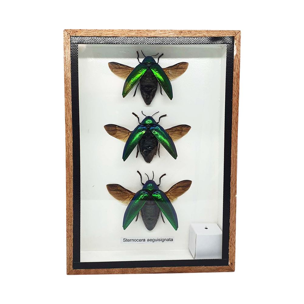 Vie Naturals Taxidermy Green Jewel Beetle, Set of 3, Wing, 12.5x17.5cm
