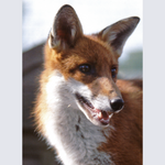 Load image into Gallery viewer, Needle Felted Fox Picture Kit