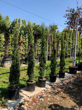 Load image into Gallery viewer, Cupressus sempervirens 20L 150-175cm