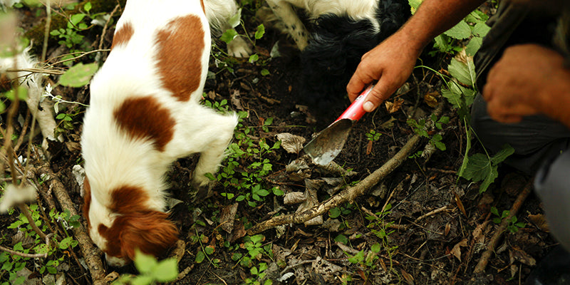 Truffle hunting dogs in the forest