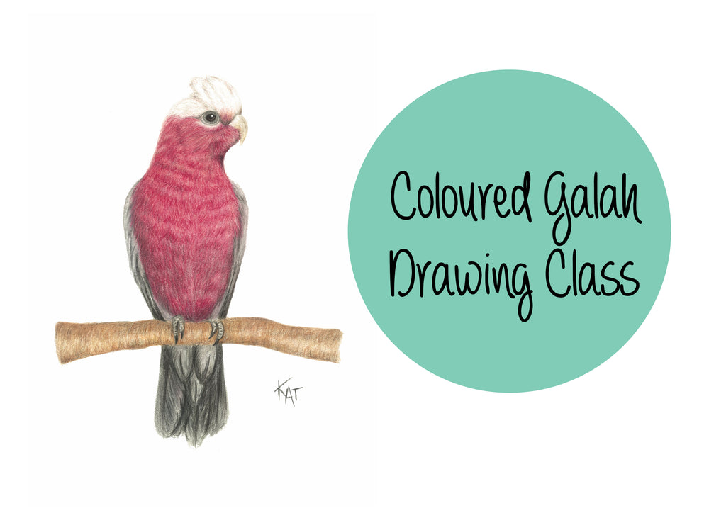 Galah Coloured Pencil Drawing Class