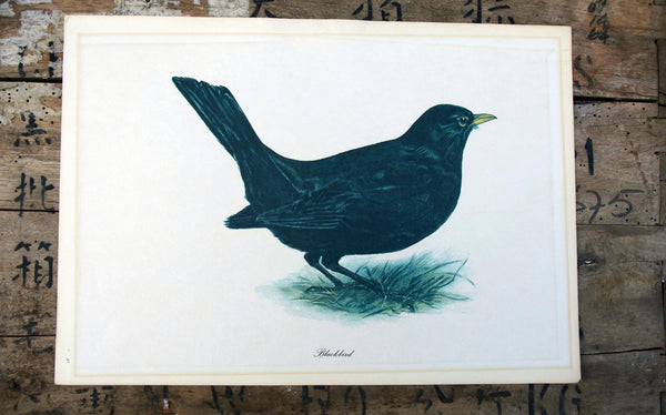 Vintage original botanical British bird book illustration prints blackbird