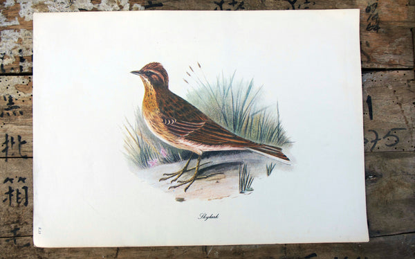 Vintage original botanical British bird book illustration prints skylark