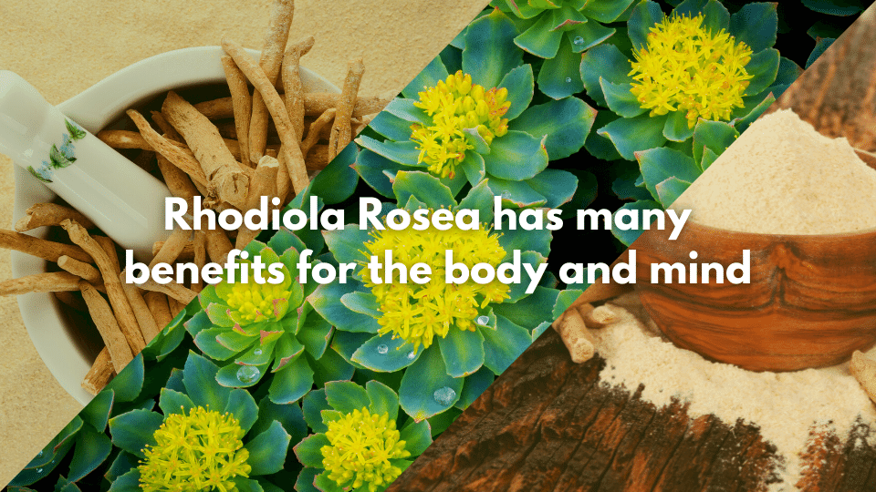 Rhodiola Rosea Health Benefits for body and mind