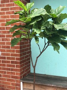 Fiddle Leaf Fig (Ficus lyrata)