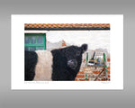 Belted Galloway Print - And that's how Belties are made - Kitchy & Co