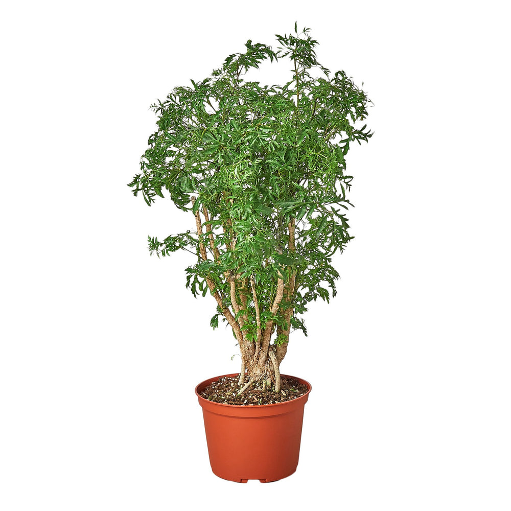 ARALIA MING STUMP PLANT