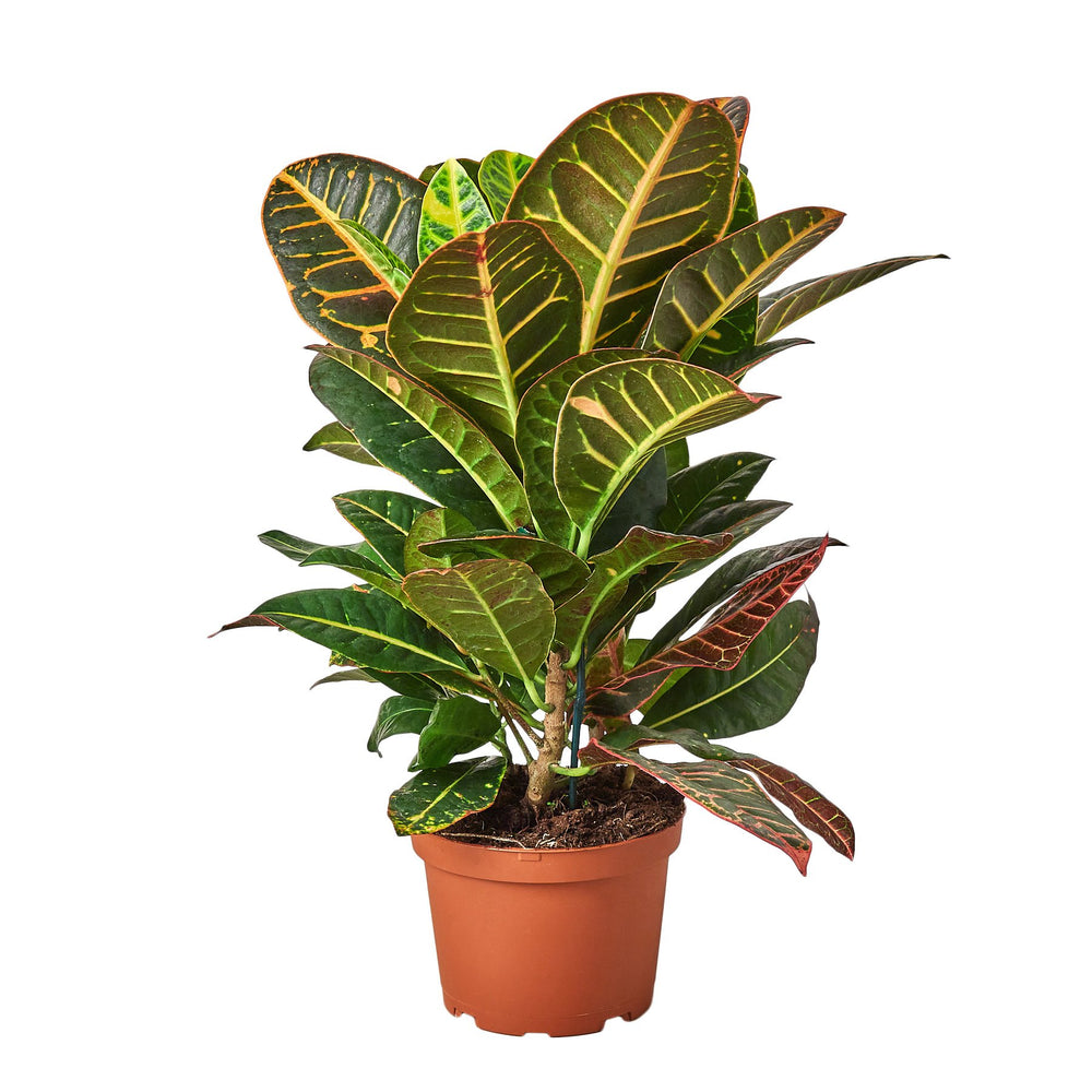 Load image into Gallery viewer, CROTON PETRA 'JOSEPH'S COAT'