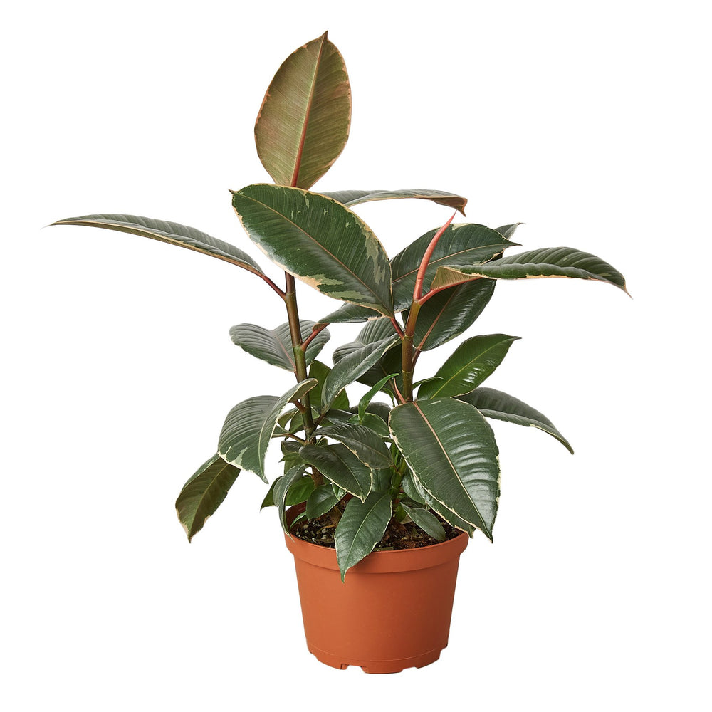 Load image into Gallery viewer, FICUS ELASTICA 'TINEKE'