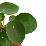 PILEA PEPEROMIOIDES 'CHINESE MONEY'