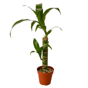 Load image into Gallery viewer, DRACAENA ELEGANCE