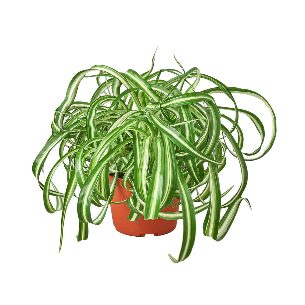 Load image into Gallery viewer, SPIDER PLANT 'BONNIE'
