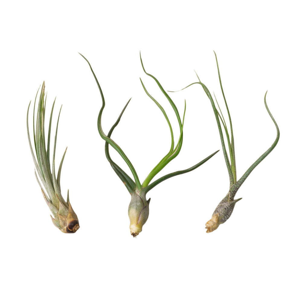AIR PLANT VARIETY PACK, SET OF 3 LARGE TILLANDSIAS