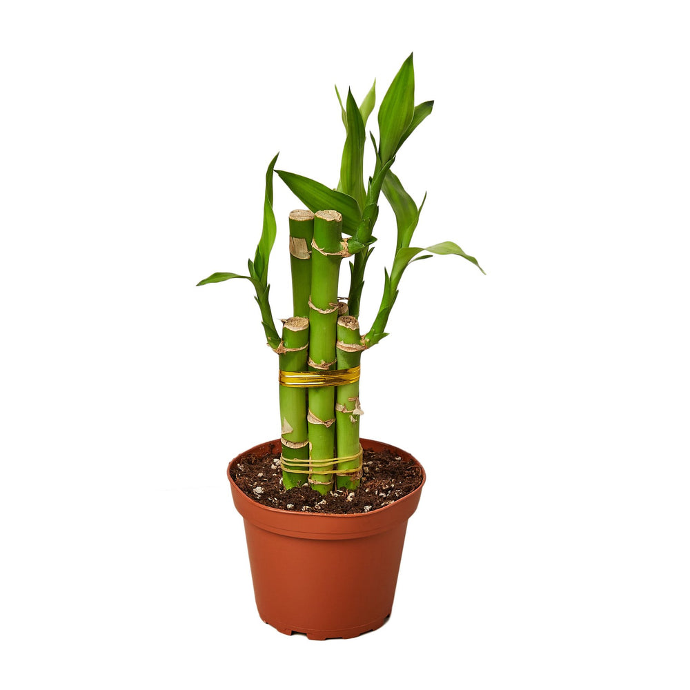 Load image into Gallery viewer, DRACAENA 'LUCKY BAMBOO'