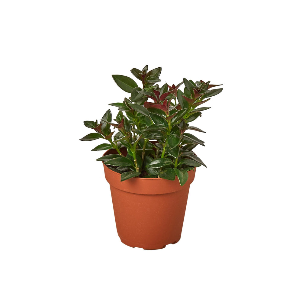 Load image into Gallery viewer, NEMATANTHUS BLACK GOLDFISH PLANT