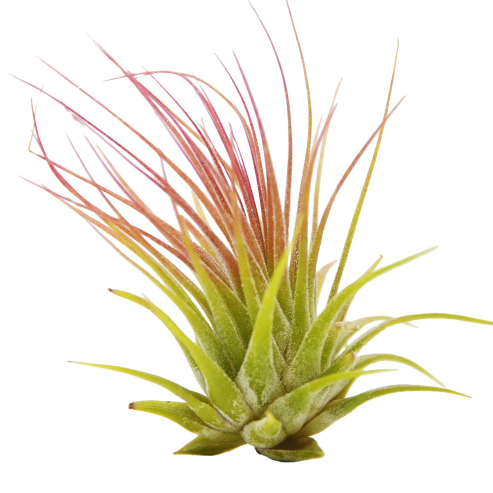 TILLANDSIA AIR PLANT SET WITH FERTILIZER SPRAY