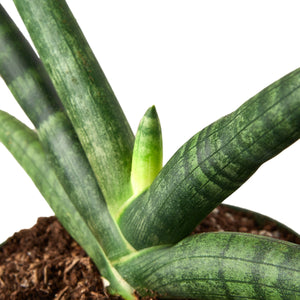 Load image into Gallery viewer, SNAKE PLANT STARFISH
