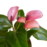 "ANTHURIUM ""PURPLE"""