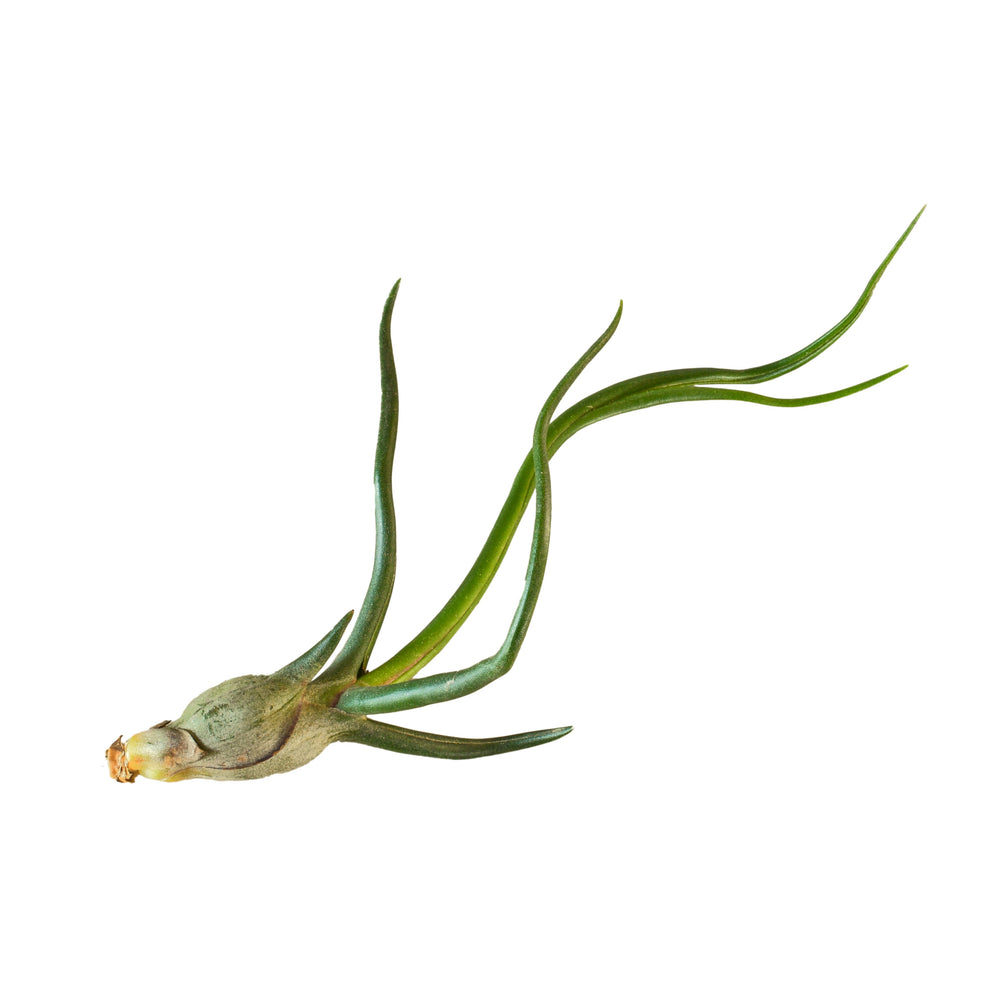 TILLANDSIA AIR PLANT BULBOSA