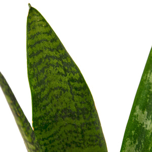 Load image into Gallery viewer, SNAKE PLANT 'ZEYLANICA'