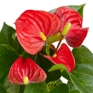 Load image into Gallery viewer, ANTHURIUM 'RED'