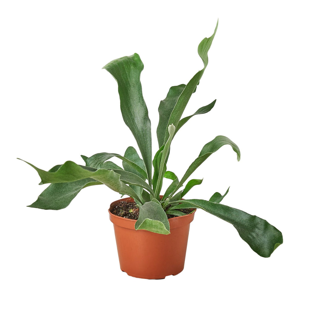 Load image into Gallery viewer, STAGHORN FERN
