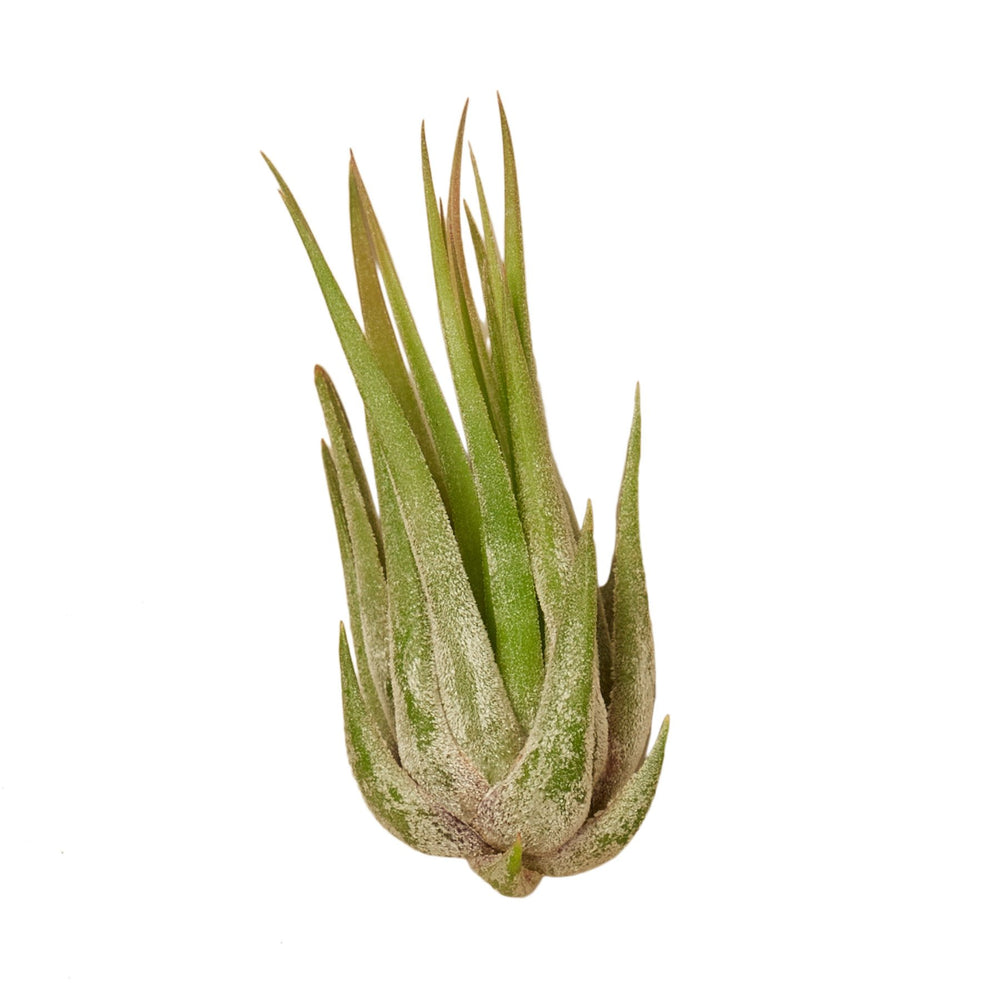 TILLANDSIA AIR PLANT KOLBII, SET OF 3