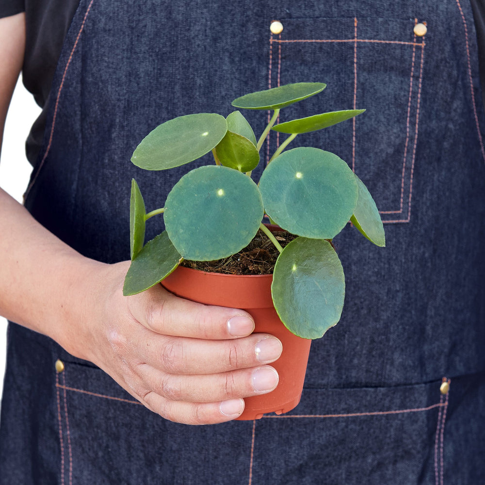 Load image into Gallery viewer, PILEA PEPEROMIOIDES 'CHINESE MONEY'