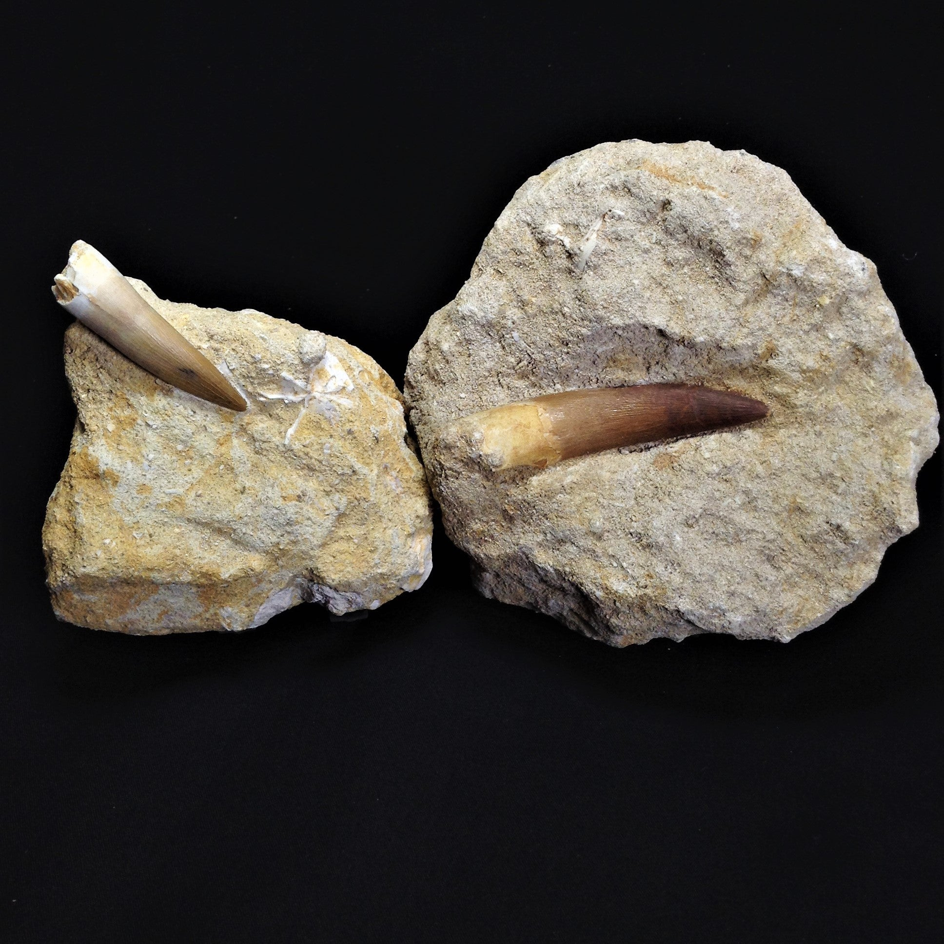 Extinct Marine Animals Rare Tooth