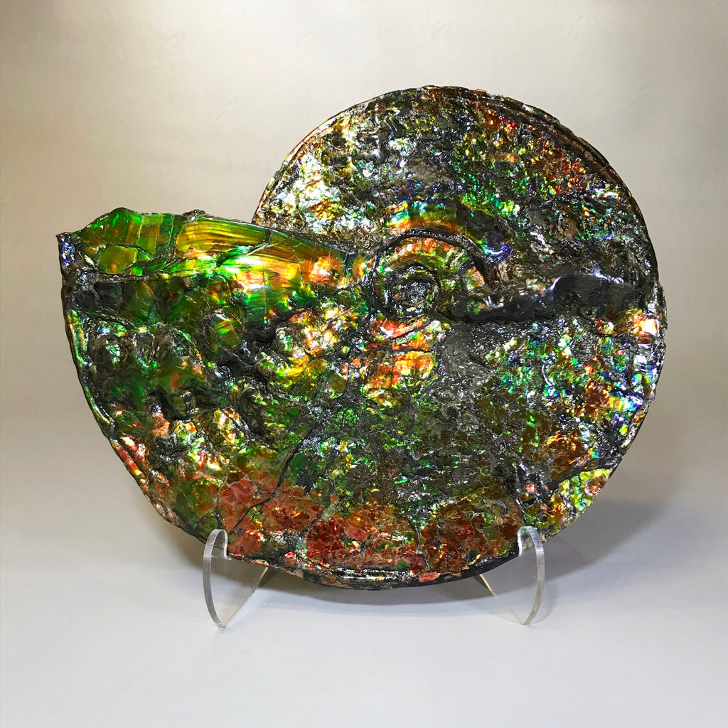 Ammonite Placenticeras with Ammolite