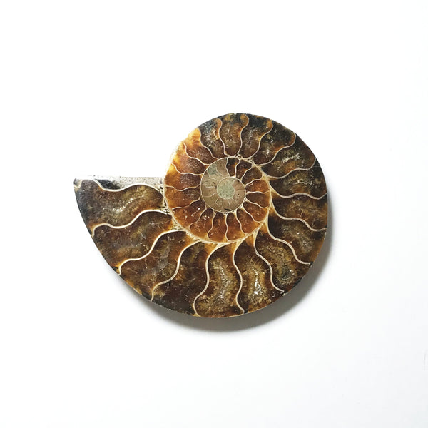 Chambered Ammonite