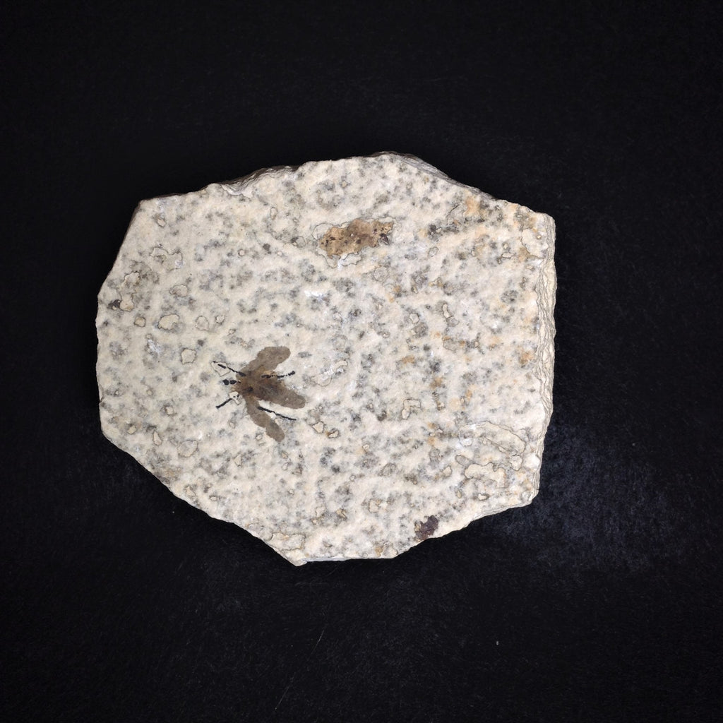 Rocks and Gems Canada, Fossil, Plecia Fly