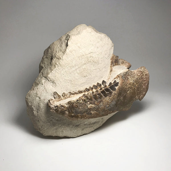 Fossilized Oreodon Jaw Specimen