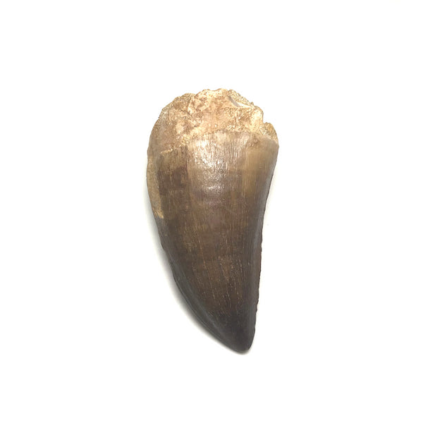 Fossilized Mosasaur Tooth Specimen