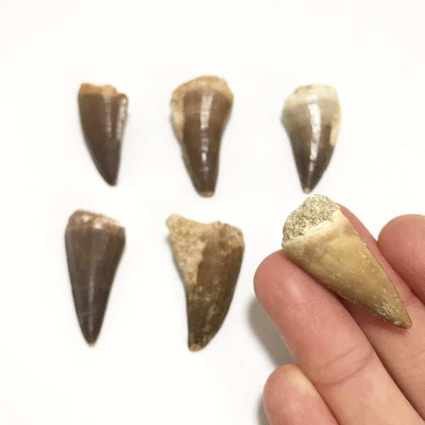 Fossilized Mosasaur Tooth Specimen at $35 each