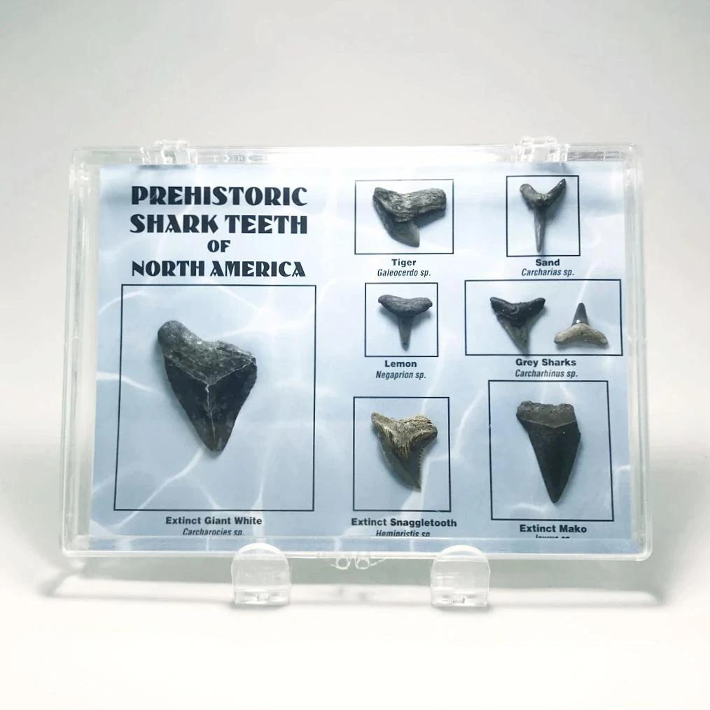 Fossilized Prehistoric Shark Teeth of North America Collection