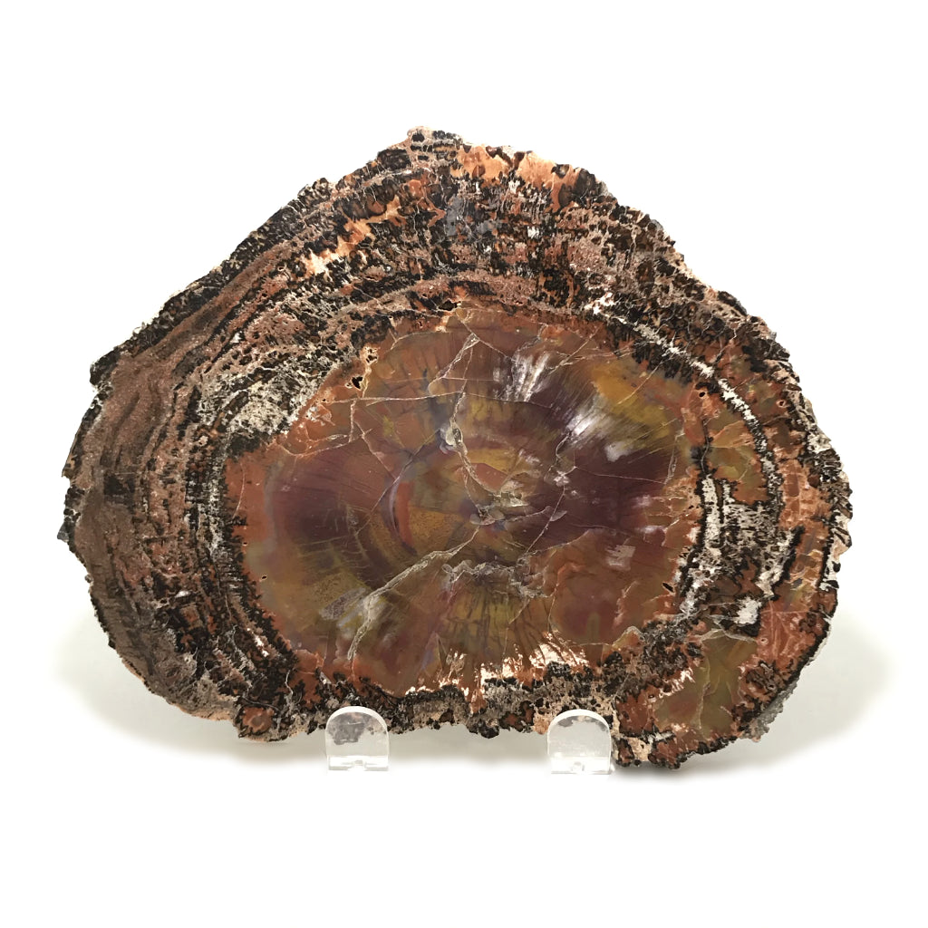Araucaria Petrified Wood Slice