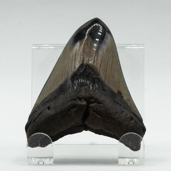 Polished Fossilized Shark Tooth Specimen: Carcharodon Megalodon